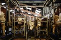 Les vaches attendent leur passage pour la traite.