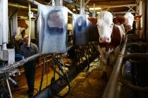 Dans l'exploitation on peut traire 3O vaches en même temps.