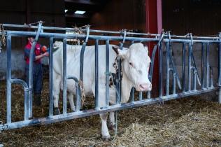 Vu le nombre de bêtes à gérer, celles qui attendent de mettre bas sont affublées d'un détecteur électronique qui indique le moment du vêlage.